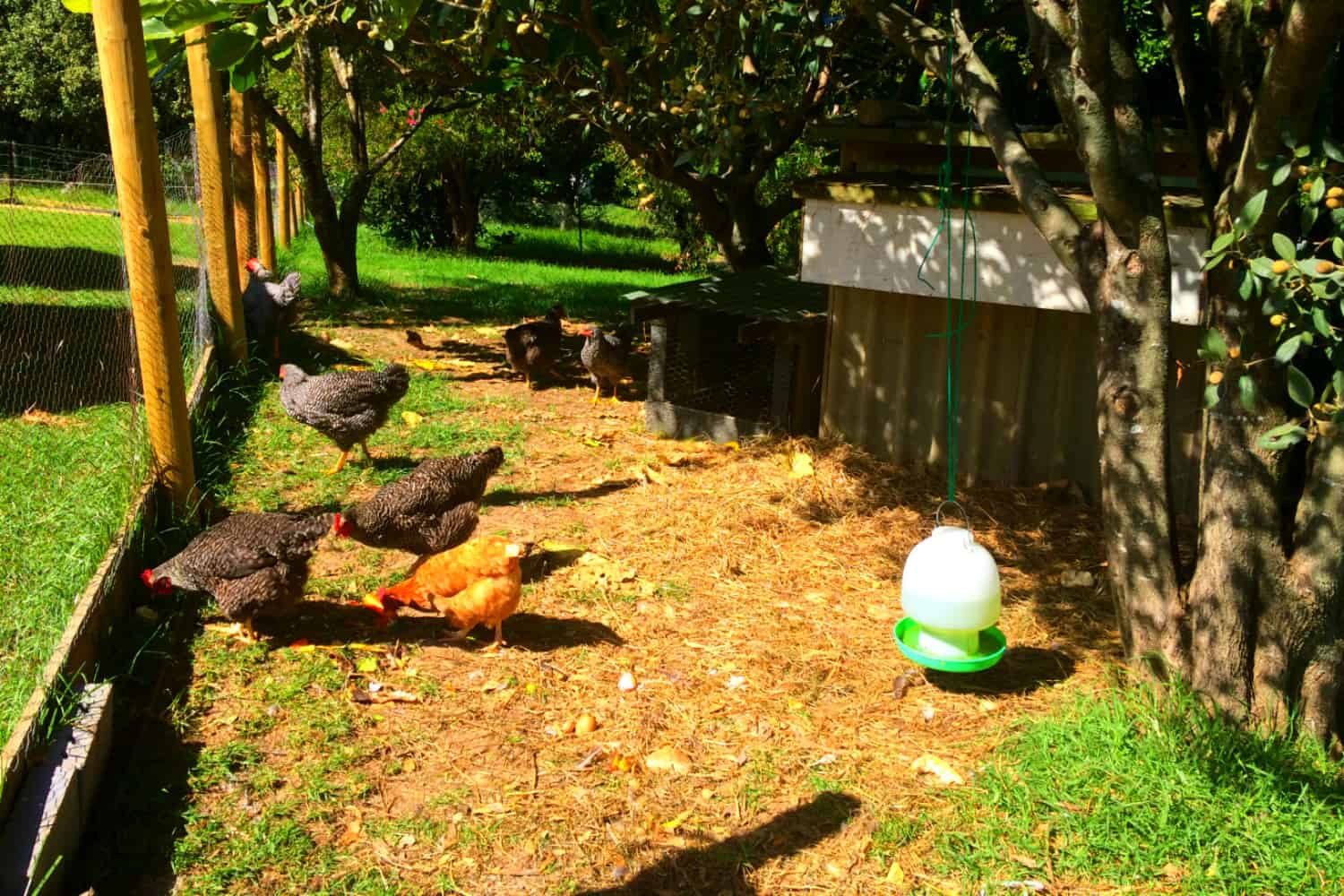 the chooks and fresh eggs