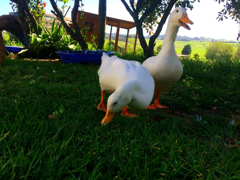 The ducks